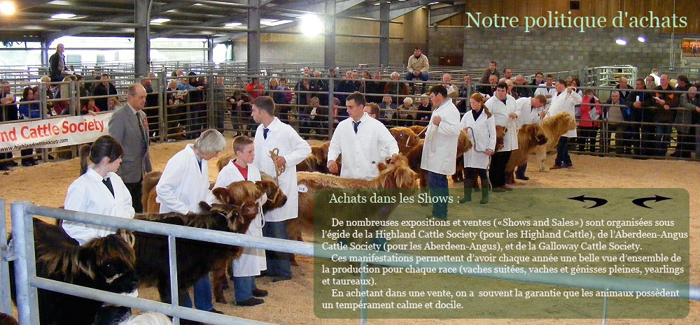 Show agricole en Ecosse, vaches Highland cattle